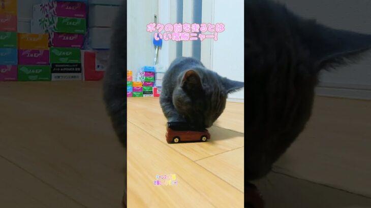 これが煽り運転ってやつですか〜! マンチカン 短足マンチカン 子猫 可愛い Cat トミカ セレナ C27